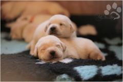 Love those little labradors!