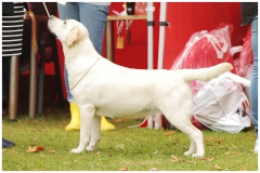 14,5 months old at Latvian Retrievers Speciality Show.