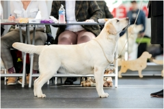 21 months old at Latvian Retrievers Speciality Show.